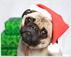Merry Christmas! ([Christine]) Tags: christmas portrait dog holiday studio pug presents wookie
