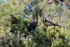 Black Cockatoos - Carnaby's Black Cockatoo (paulskip) Tags: park black tree grass australia national perth western banksia cockatoo carnabys neerabup
