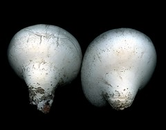 28566 Piptoporus betulinus (horticultural art) Tags: abstract mushroom botanical fungi horticulture piptoporus piptoporusbetulinus shelffungi horticulturalart birchshelffungi