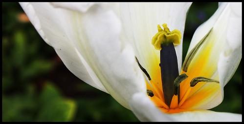 Tulipa2x1.2