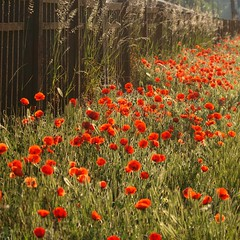 Graminées et coquelicots ★ ---° (Titole) Tags: light sunlight grass fence poppy poppies thumbsup coquelicot egly graminées gamewinner friendlychallenges thechallengefactory ultimategrindwinner gamex2 storybookttwwinner titole favescontestfavoriteson nicolefaton