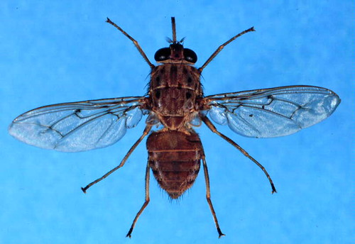 The tsetse fly, which spreads the livestock disease trypanosomosis