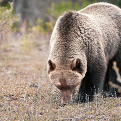 Ursus Arctos Horribilis (christian.senger) Tags: bear park travel brown canada texture nature animal digital america mediumformat fur geotagged dangerous nikon dof bokeh outdoor alberta grizzly lightroom d300 christiansenger:year=2011
