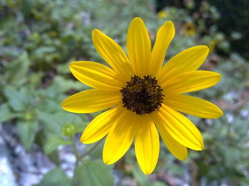 06112011623-Bowditch-dune-sunflower