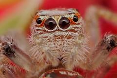 spider eating spider (FISHNROBO) Tags: macro green nature closeup newcastle spider bush native australia fishnrobo