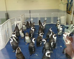 Penguins waiting for their exhibit to be cleaned