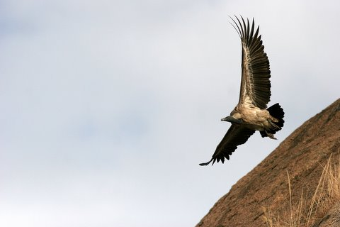 long-billed vulture take off 021207