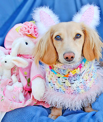 Bunny with Honey (Doxieone) Tags: pink blue dog cute rabbit bunny english easter long cream ears dachshund honey blonde haired coll doxie longhaired honeydog englishcream halloweenfall2008set easterset