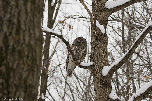 Barred Owl (1 of 3)