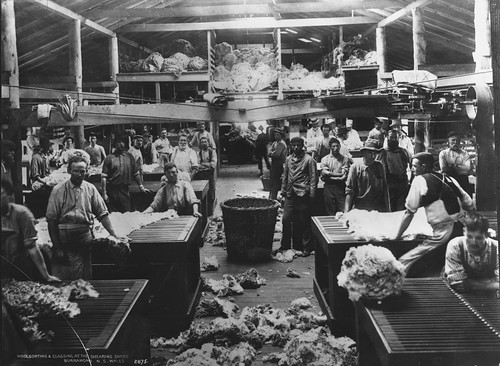 Woolsorting and classing at the shearing sheds,  Burrawong,  New South Wales