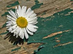 Adagio (FotoRita [Allstar maniac]) Tags: life wood italy rome flower roma macro colors digital canon daisy fiore myfavourites canoneos350d eos350d margherita legno adagio byfotorita