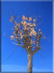 rvore num cu azul (Rosrio Garcia - bidos) Tags: praia portugal azul canon flickr foto cu garcia fotografia rvore bidos rosrio oeste maravilha somartinhodoporto smartinho wowiekazowie