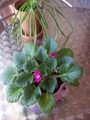 flowering african violet