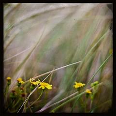 Eye of the Storm (Sean Bolton (no longer active)) Tags: flower beach grass yellow swansea wales dune cymru swanseabay abertawe seanbolton flickrelite ffotocymrucouk