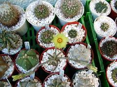 Astrophytum caput-medusae (Sleyman) Tags: flowers cactus macro nature cacti turkey garden trkiye greenhouse cactaceae macroflowers serre astrophytum cactusflowers digitostigma cactuscollection astrophytumcaputmedusae