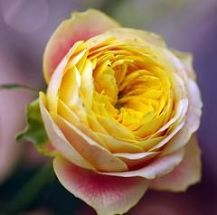 Peach English Rose (bluehazyjunem) Tags: summer english rose yellow gift 2008 soe inspiredbylove flowerotica mywinners abigfave platinumphoto colorphotoaward impressedbeauty aplusphoto ysplix betterthangood goldstaraward macroflowerlovers