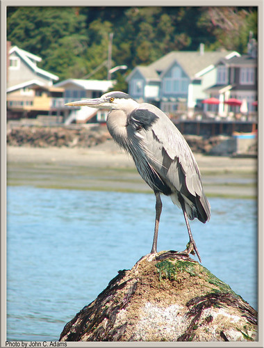 Great Blue Heron by johnadams1217.