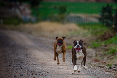 Kostya & Laila (cyoung) Tags: boxers run thelittledoglaughed