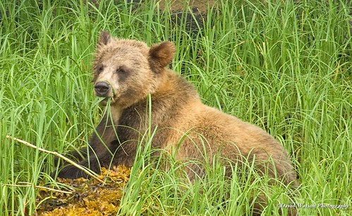 Grizzly bear 4 year old