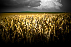 Grain (Loren Zemlicka) Tags: lighting sky plant storm green nature field weather yellow wisconsin clouds contrast rural dark landscape midwest gloomy farm wheat horizon coun