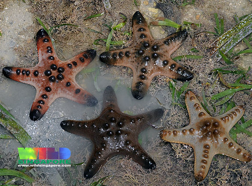 Knobbly sea star babies (Protoreaster nodosus)