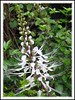 Orthosiphon aristatus/stamineus (Cat's Whiskers, Java Tea, Misai/Kumis Kuching)