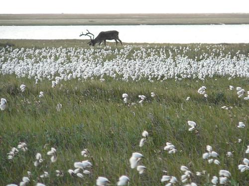 Cottongrass y caribus en Deadhorse
