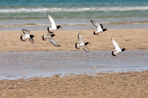 Oystercatchers (3)