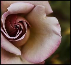 Left (.Carter.) Tags: seattle park pink flower macro animal rose canon woodland rebel zoo washington best petal wa soe woodlandparkzoo bestofthebest naturesfinest cherryontop xti abigfave canonrebelxti visiongroup goldstaraward vision100
