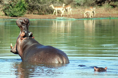 AFRIQUE DU SUD PARC kruger PARK SOUTH AFRICA (meunierd) Tags: famille sunset lake elephant animal sunrise soleil lion lac hippo impala animaux familly girafe sanglier couche babouin baboun phacochere hippotame afriquedusudparckrugerparksouthafrica