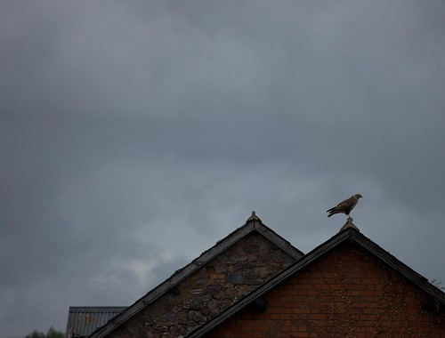 Buzzard on Roof