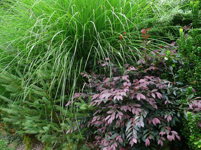 Loropetalum plant lust mightylinksfo