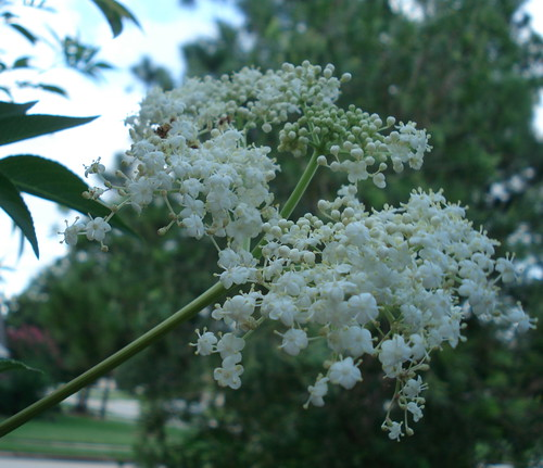 elderberryflowers.jpg