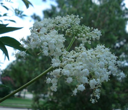 elderberryflowers.jpg