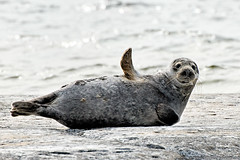 Grey seal on Mrket (taivasalla) Tags: sea water animal suomi finland geotagged balticsea baltic seal seashore meri vesi itmeri elin aland grayseal greyseal land ahvenanmaa nikond200 gulfofbothnia merenranta hylje terrascania harmaahylje alandislands pohjanlahti landislands ahvenanmeri selkmeri seaofbothnia