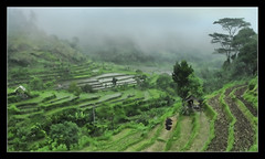 heavy rain ('PixelPlacebo') Tags: nature field rain indonesia paddy fresh heavy moisture steaming soaked monsun