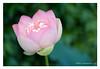 DSCF0612 (Andrea Gazzarrini Photo) Tags: flower fiore aquaticplants nelumbo nelumbium fiorediloto pianteacquatiche nikon50mmf14 estatesummer fiordiloto flowerlotussacredlotus nelumbonuciferaflower andreagazzarrini