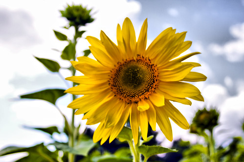 Yellow Sunflower by you.