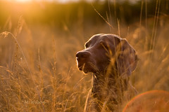 ...Golden Girl... (kia's r kid) Tags: sunset dog sun fall field 50mm golden evening nikon september weimaraner lensflare 500views kia d100 2008 600views 50faves 20faves notprocessed 70faves 250views abigfave thelittledoglaughed 45faves theunforgettablepictures goldstaraward qualitypixels damniwishidtakenthat llovemypics allrigtsreserved artofimages hikesunset mwilsonphotography mwilsonphotographyaddesign mwilsonphotoblogw