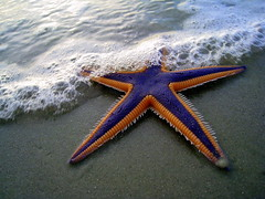 Purple and Orange Starfish on the Beach (TheMarque) Tags: ocean life blue sea orange fish color beach water geotagged star us sand gallery purple florida starfish wildlife salt royal crab creativecommons myrtle environment daytona catchy articulatus astropecten markscamera9608 taxonomy:binomial=astropectenarticulatus
