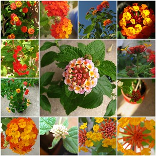 Lantana is magic.