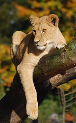 Lioness in Copenhagen Zoo (ingelisesoerensen) Tags: animal animals cat zoo lion lioness wcw zooanimals copenhagenzoo winr 251008 wildcatworld