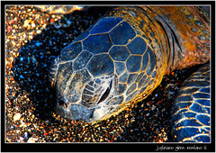 Honu Green Sea Turtle at Kahuwai Bay (j glenn montano 3) Tags: sea green nature island for hawaii bay us big turtle glenn union conservation international species honu endangered 1973 kona act montano justiniano colourartaward kahuwai kaillia