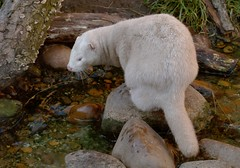 Mink (Kirsten M Lentoft) Tags: animal fur denmark mink esbjerg kirstenmlentoft sealarium akvarum mmmmmmmmmuaahhhhh tonsofhktoyou haveagoodnightmysweetfriend