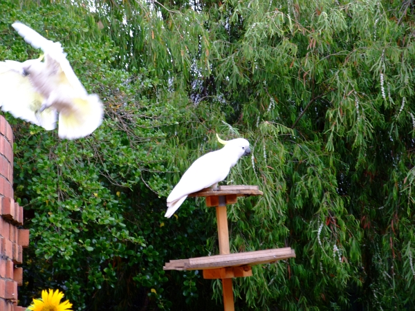 two blurry cockatoos