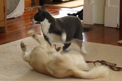 Kitten & Daisy - 40 (Andre Reno Sanborn) Tags: chihuahua kitten sweetpea daisy