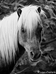 Gig-eh (roseinthedark) Tags: friends portrait blackandwhite bw horse cute lumix eyes furry looking sweet bokeh fluffy pony blonde gigi playboy equestrian soe equine fz50 latinlover manualmode blueribbonwinner hbw golddragon abigfave aplaceforportraits flickraward betterthangood bwartaward jediphotographer