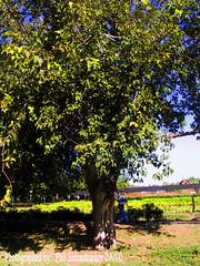 Tree with a View (phil_sidenstricker) Tags: tree nature landscape falltime donotcopy valleyofthesunphoenixmetro upcoming:event=981998 southmountainfarmphoenixazusa