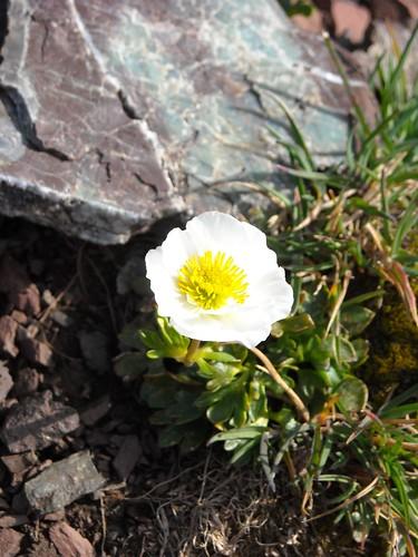 Glacial Crowfoot (Ranunculus glacialis)