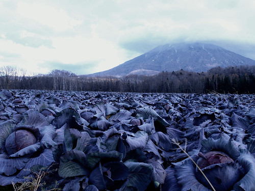 Mt. Yotei & purple cabbage
